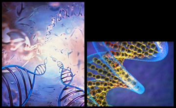 Le nombre d'Or dans la molécule d'ADN